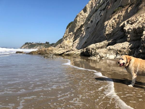 Labrador Hendrys Beach Santa Barbara