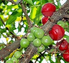 Manfaat tanaman Mahkota ilahi