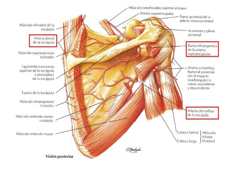 FCM-UNAH Anatomía Macroscópica: Circulación Colateral de la Escápula ...