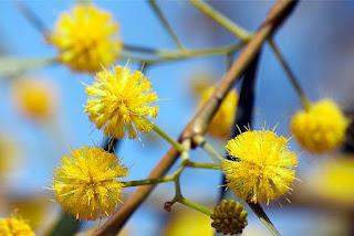 Gambar Bunga Akasia yang Indah 1