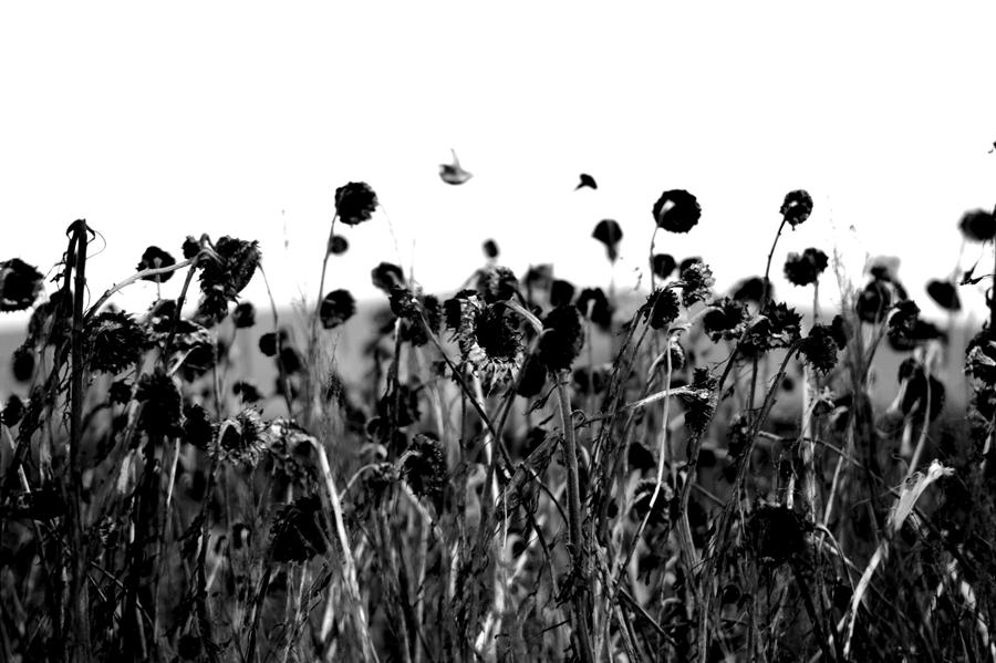 Blog + Fotografie by it's me! - #FiveDayBlackandWhiteChallenge - Sonnenblumenfeld im Winter