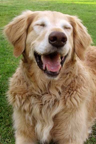 Cute Golden Retriever Puppy laughing
