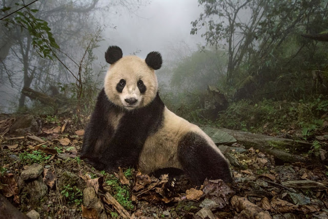 Panda na reserva natural de Wolong na China
