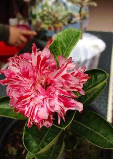 Gambar Bunga Adenium yang Unik dan Cantik 13