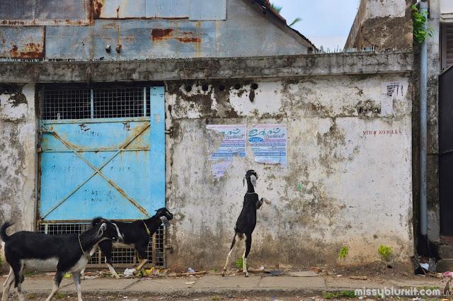 Goats roaming Kochi streets