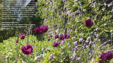 Plantas para el verano según Fergus Garrett