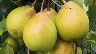 gambar buah xiang li, pir xiang li
