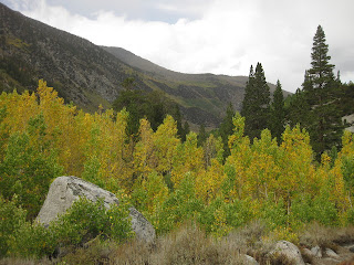 Yellow aspens in the rain near base of Tyee Lakes Trail, Inyo National Forest, California