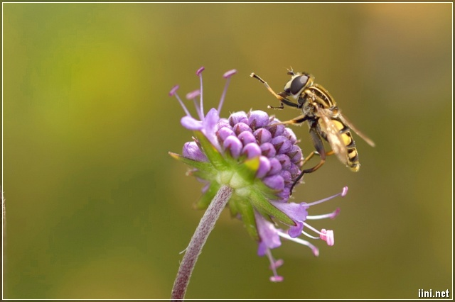 ảnh chú ong đang hút mật