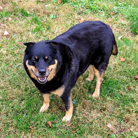 image of Zelda the Black and Tan Mutt standing in the backyard with a grin on her face and her eyes shut, looking very happy