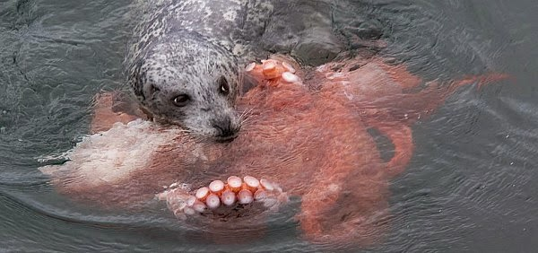 Watch a rare Battle between a Seal and an Octopus caught on camera via geniushowto.blogspot.com wildlife encounter where the seal emerges victorious by killing the octopus