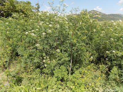 Μάιος-Κώνειο: Βότανα και φαρμακευτικά φυτά της Ελλάδας
