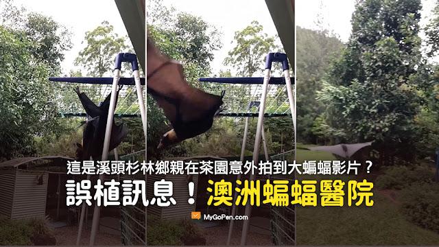 大蝙蝠 影片 這是溪頭杉林鄉親在茶園意外拍到的視頻 謠言