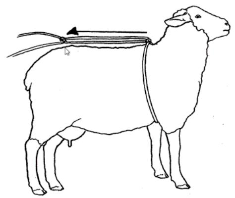 Sheep Uterus
