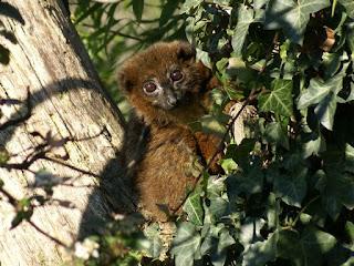 Lémur à ventre roux - Maki à ventre roux - Eulemur rubriventer