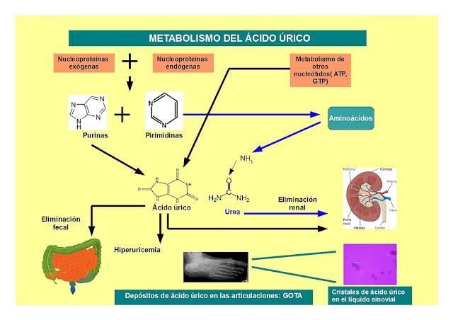 acido urico elevado en bebes acido urico basso cosa significa cuanto es lo normal del acido urico