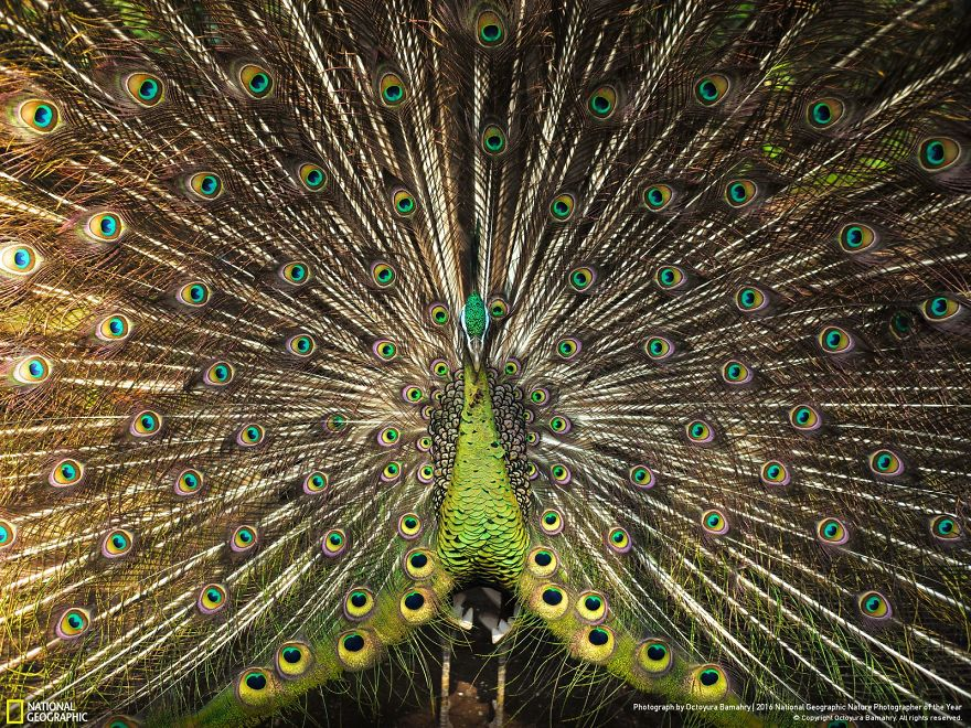 20+ Of The Best Entries From The 2016 National Geographic Nature Photographer Of The Year - Stare Into My Eyes
