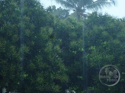 Tanaman rambutan admin sedang berbunga tapi diguyur hujan terus