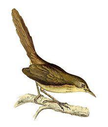 Zarzalero de Aldabra Nesillas aldabrana aves extintas