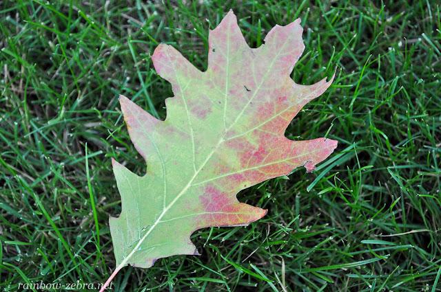 Хлорофилл разрушается - лист краснеет