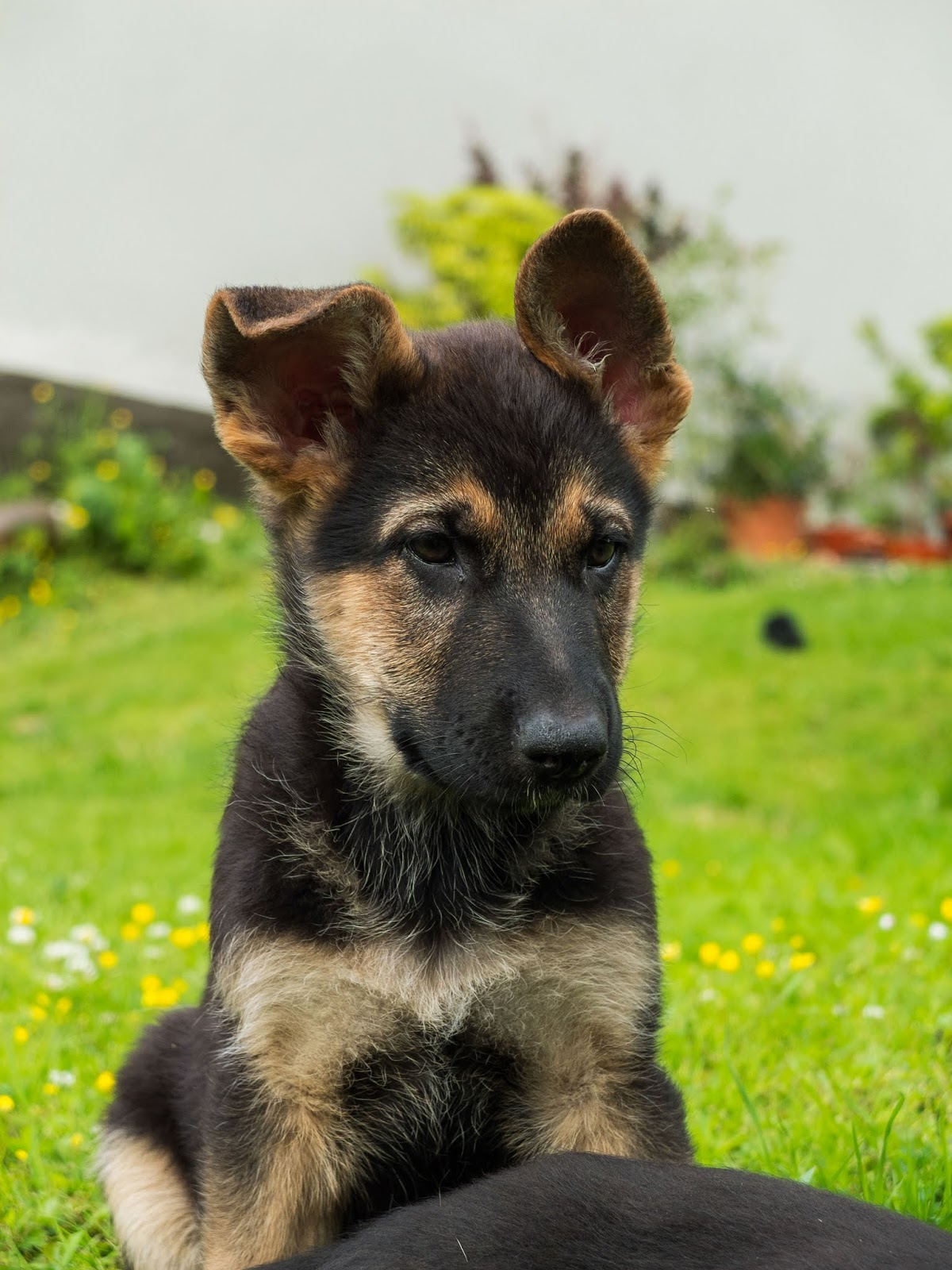 Two month old German Shepherd puppy sitting with one ear up looking alert.
