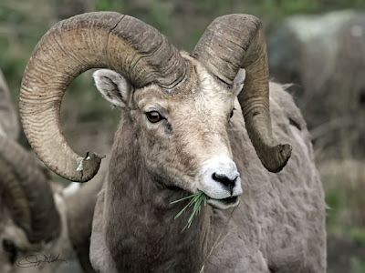 Big Horned Ram