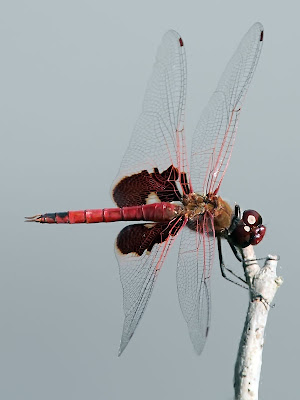 Red Saddlebag Dragonfly
