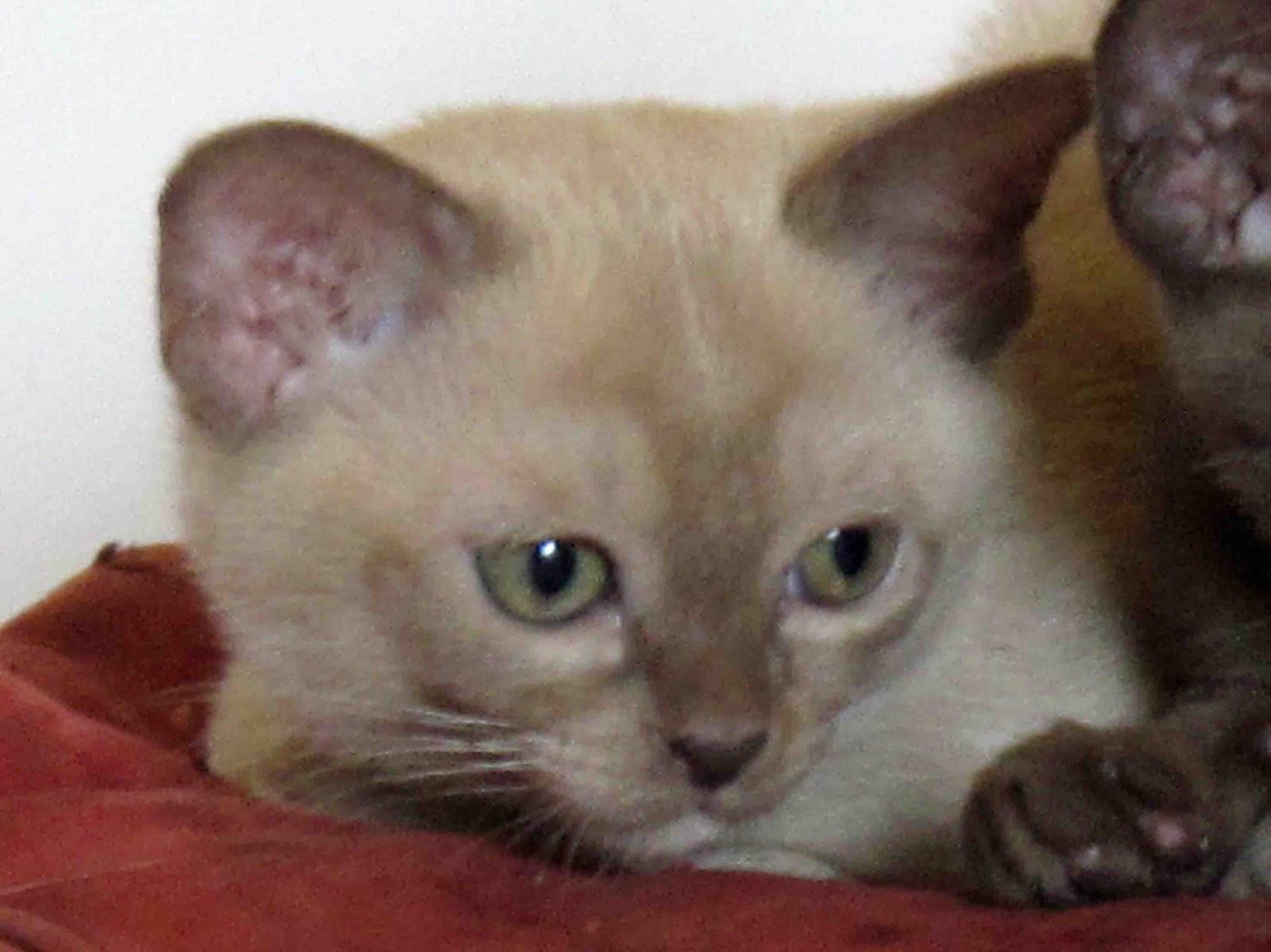 Green Dragonette: A Burmese Kitten Interlude...
