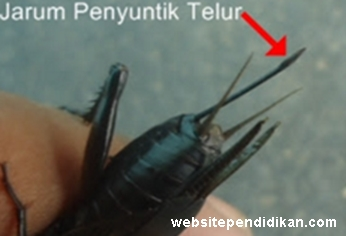 yaitu serangga yang berkerabat erat dengan belalang Ciri Khusus Jangkrik dan Fungsinya
