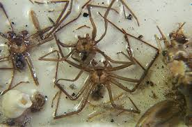 Chilean Recluse Spiders