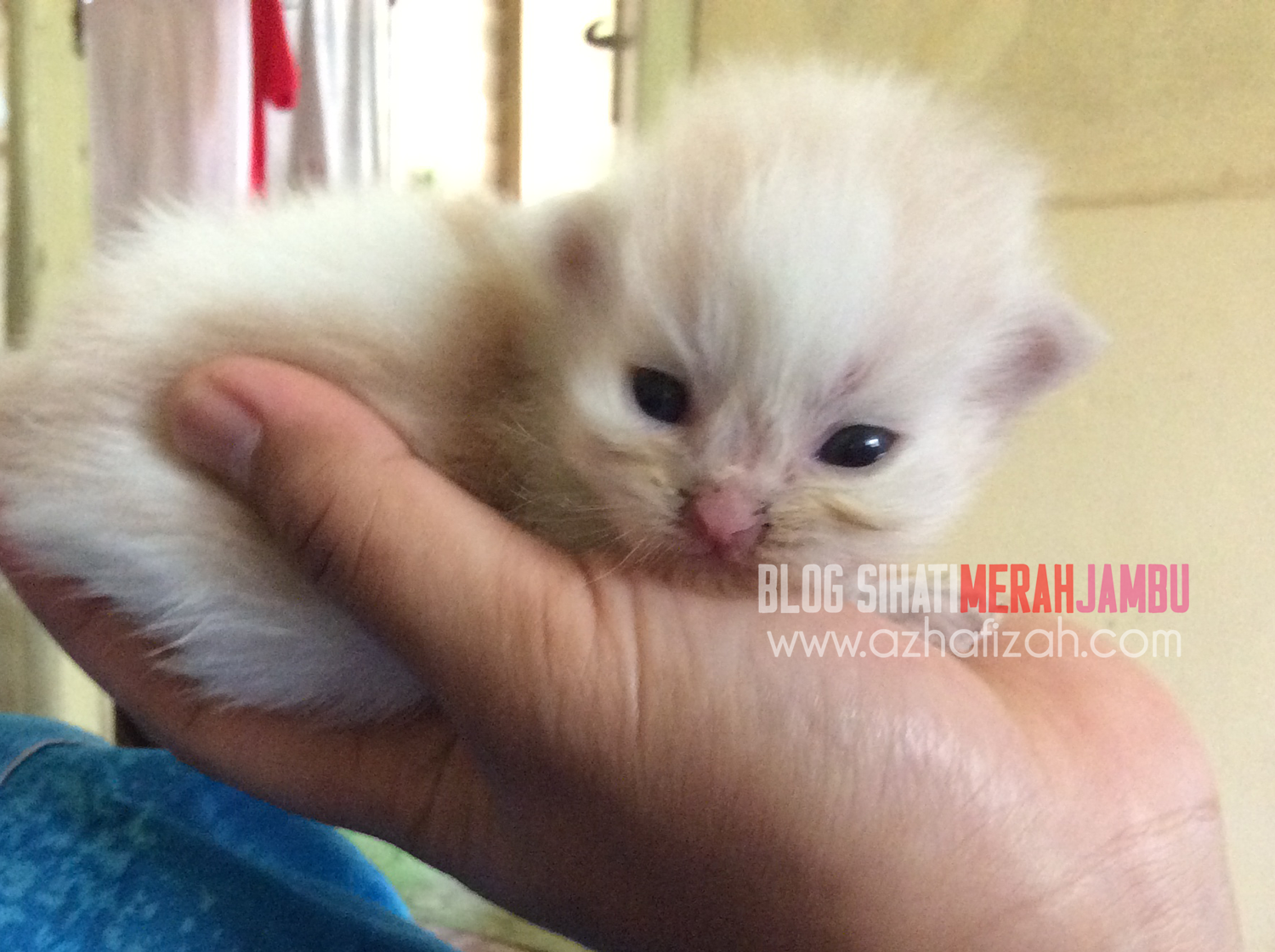 White dan soft Orange mix breed kittens