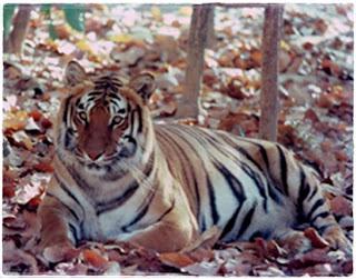 Simlipal Tigers