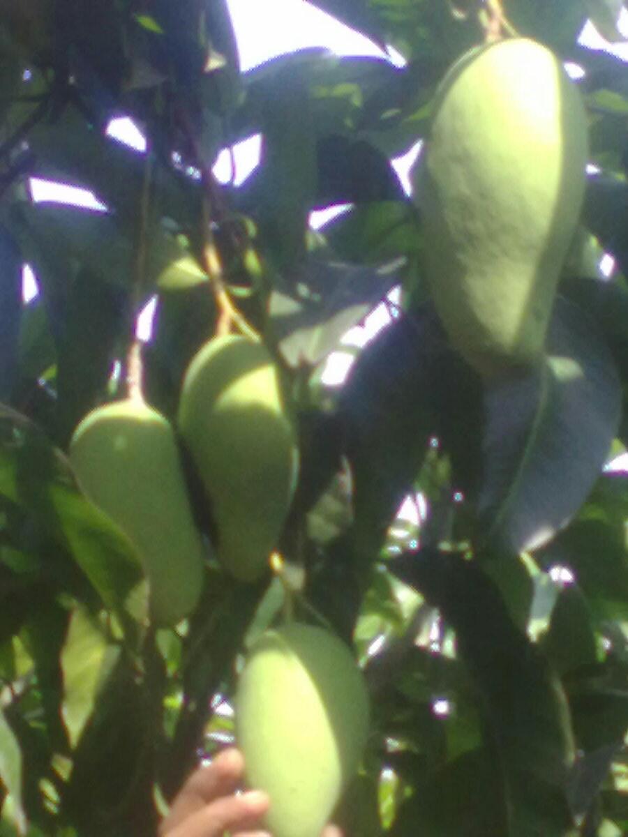 buah cokanam, suplier bibit pohon majalengka