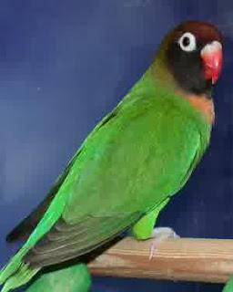 lovebird pilek, lovebird flu, lovebird sakit pilek, lovebird sakit flu