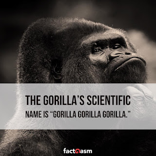 gorilla,scientific name