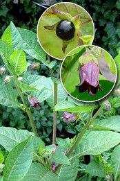 Planta Belladona