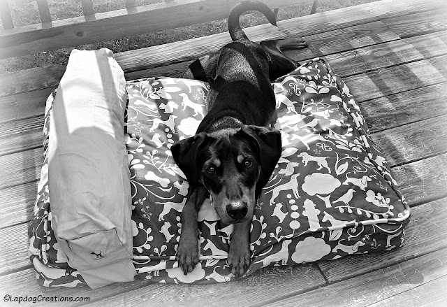 Penny loves her #MollyMutt bed and so does her Mama! #BlackAndWhite #DobermanPuppy #RescueDog #AdoptDontShop #LapdogCreations ©LapdogCreations