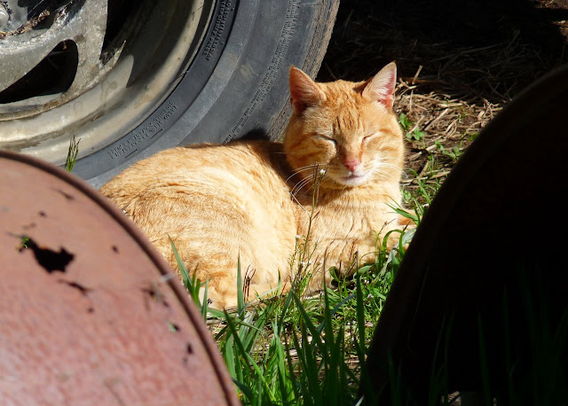 napping orange cat, the sun feels good on the fur