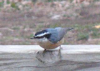 cindyzlogic: Backyard Birds in SC Kansas