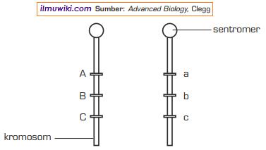 Letak gen pada kromosom homolog