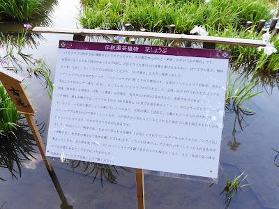 山田池公園・花しょうぶ園 ハナショウブの解説