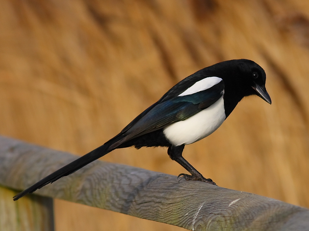 A thieving magpie