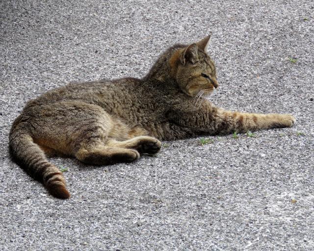 An indifferent cat, Piazza del Luogo Pio, Livorno