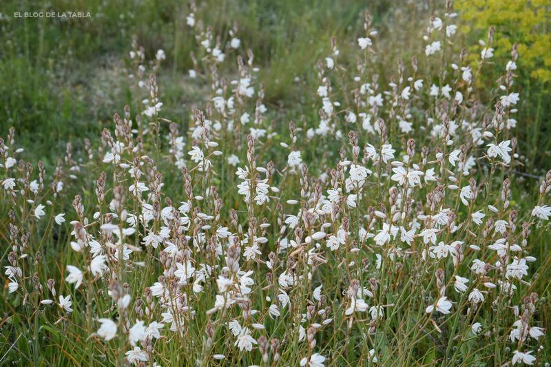flores color blanco de plantas mediterráneas