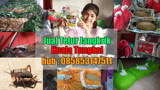 Anda mencari kawasan jual telur jangkrik Kuala Tungkal Order WA 0858-5314-7511 Bibit Telur Jangkrik Kuala Tungkal