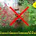 วิธีป้องกันและกำจัดแมลงวันทองผลไม้ ด้วยยี่โถและกะเพรา