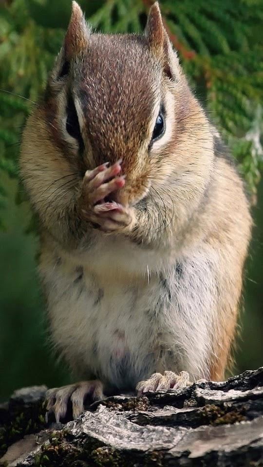 Squirrel   Galaxy Note HD Wallpaper