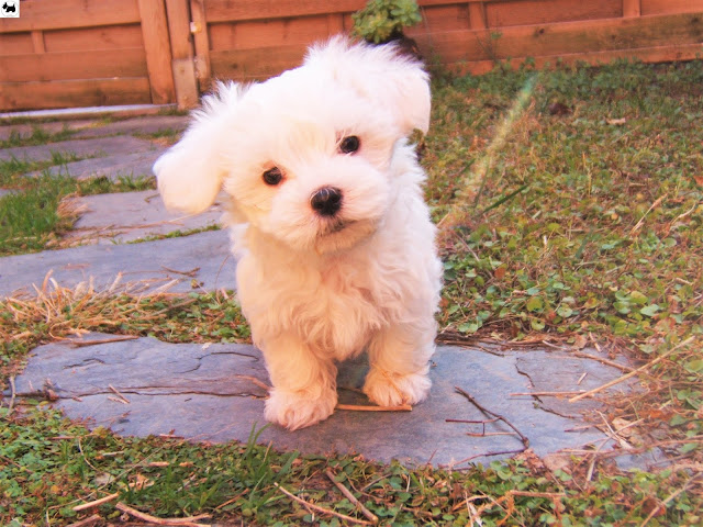 Cutest Dog Breeds, Best Dog, Coton De Tulear Dog puppies