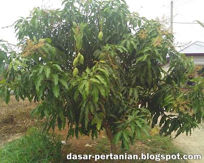 Cara Mengatasi Rontok Bunga Pada Tanaman Mangga