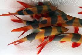 Makanan Ikan Botia Ikan Hias